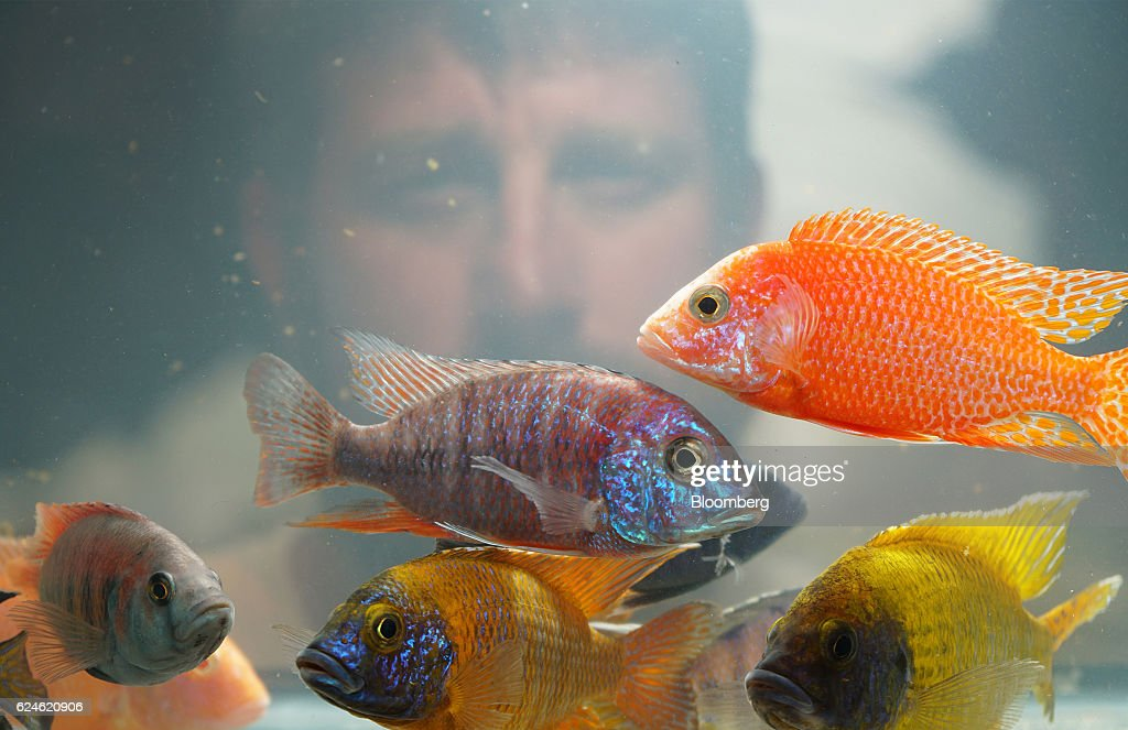 A worker watches as Peacock Cichlids swim in a tank at