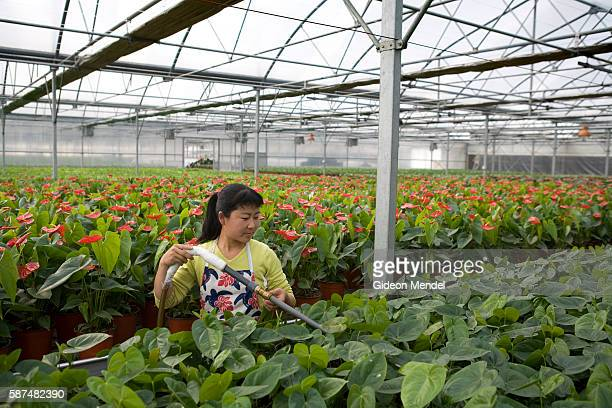A worker waters some of the approximately 80000 Anthurium plants being grown in the immense ThreeHi Technology Agriculture Pilot Model Center This is...