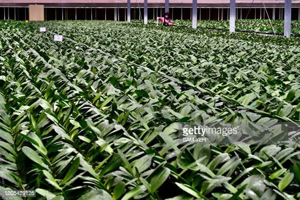 A worker wearing a face mask handles orchid flowers at the Char Ming Agriculture company in Tainan southern Taiwan on March 6 2020