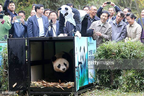 YA'AN CHINA OCTOBER 20 A worker wearing a panda costume opens the cage to let giant panda 'Hua Yan' go out to the wild at the Liziping National...