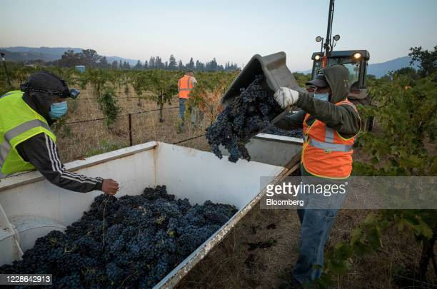 A worker wearing a protective mask dumps zinfandel grapes in a bin at a vineyard in Kenwood California US on Monday Sept 21 2020 Smoke from the LNU...