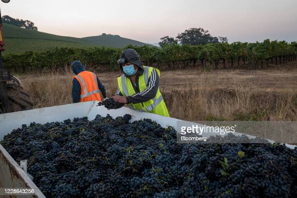 A worker wearing a protective mask sorts zinfandel grapes at a vineyard in Kenwood California US on Monday Sept 21 2020 Smoke from the LNU Lightning...