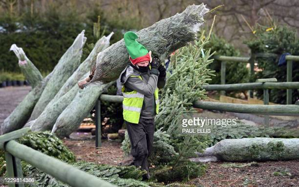 Worker wearing an elf's hat carries a freshly harvested tree to a customer's car at Keele Christmas Tree Farm near Stoke-on-Trent, central England on...