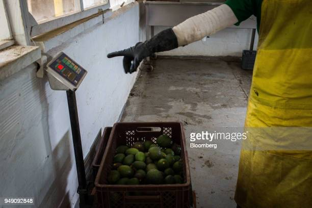 A worker weighs a crate of avocados at La Regada farm in Salgar Antioquia department Colombia on Monday April 16 2018 The National Administrative...