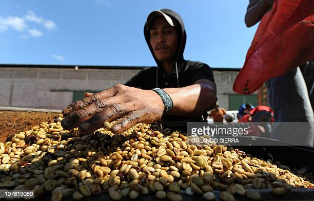 A worker weighs sacks of coffee beans many of which were harvested by children in the department of El Paraiso 120 km east of Tegucigalpa December 20...