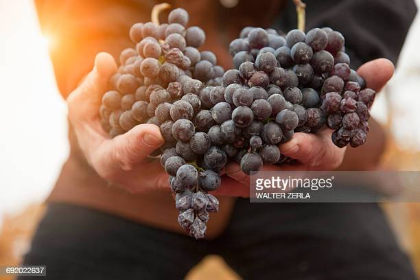 Worker with handful of red grapes of Nebbiolo, Barolo, Langhe, Cuneo, Piedmont, Italy