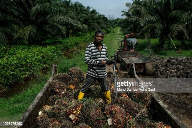 A worker work on palm oil fruit lorry at a local palm plantation on January 3 2019 in Banting outside Kuala Lumpur Malaysia Malaysia and Indonesia...