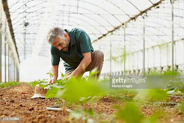 Worker working in greenhouse