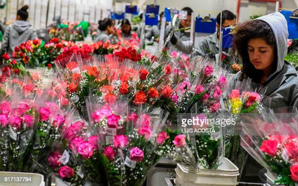 A worker wraps and classifies roses ahead of Valentine's Day at a flower farm in Tabio Cundinamarca department Colombia on February 01 2018 Following...