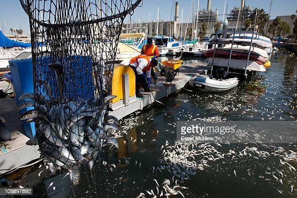Workers and volunteers continue to clean up millions of dead sardines for a second day in King Harbor on March 9 2011 in Redondo Beach California...