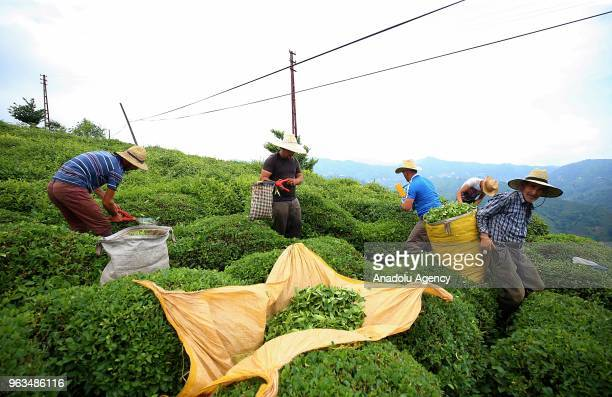 Workers are seen as they harvest the tea plant, during the early morning in Rize, Turkey on May 29, 2018. Fresh tea plant, which is income channel...