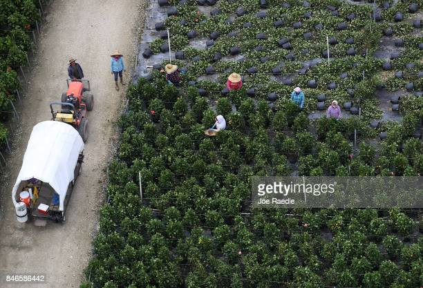 Workers are seen as they work in the agricultural area after Hurricane Irma passed through the area on September 13 2017 in Homestead Florida The...