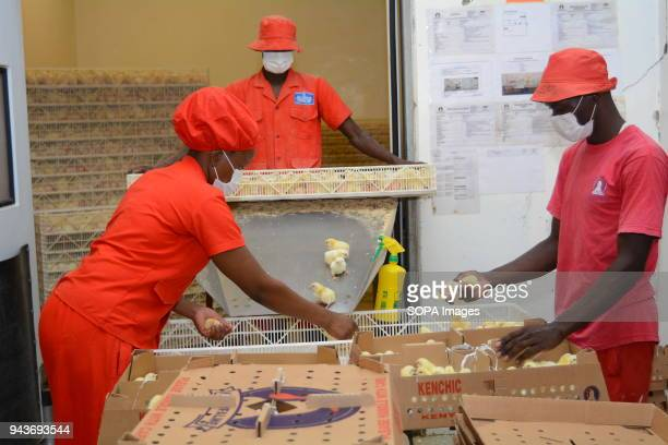 Workers are seen packing day old chicks at a poultry hatchery in Athiriver Kenya Poultry consumption in Kenya is expected to grow three folds in the...