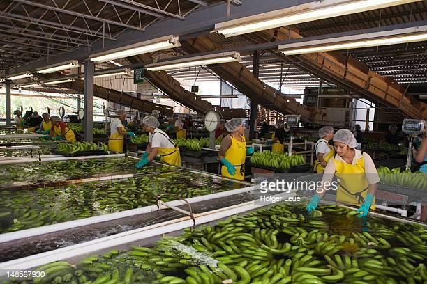 Workers at Dole banana plantation.