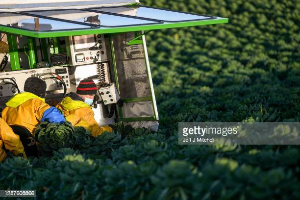 Workers at East Lothian produce harvest a field of sprouts they are growing for Christmas on November 25, 2020 in Dunbar, Scotland. Brussels Sprouts...