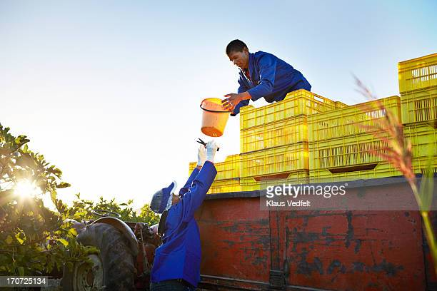 Workers at fig loading fruit onto trailer