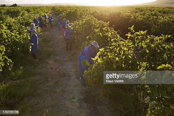 Workers at fruit farm harvesting figs at sunrise