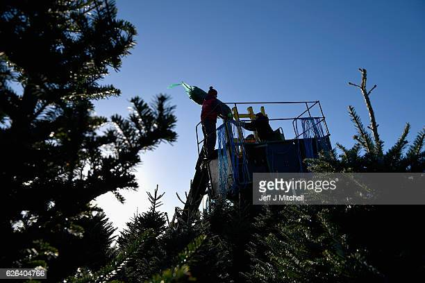 Workers at Glaisters Farm near Dumfries harvest this year's crop of Christmas trees as they prepare for the festive season on November 29, 2016 in...