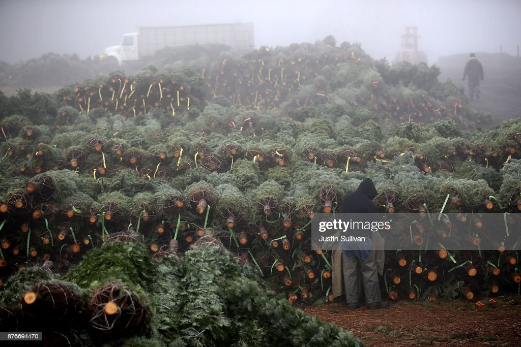 Oregon Christmas Tree Farm Harvests Trees For Upcoming Holiday Season : News Photo
