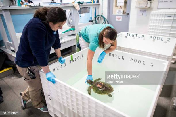 Workers at New England Aquarium's Sea Turtle Hospital check on a Kemp's ridley sea turtle one of the world's most endangered sea turtle species that...