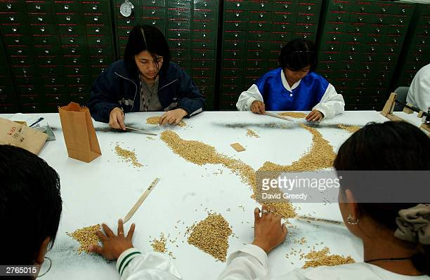 Workers at the International Rice Research Institute sort good grains for storage and planting November 27 2003 at IRRC's headquarters in Los Banos...