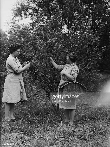 Workers at the Lullingstone Castle Silk Farm at Eynesford in Kent pick mulberry leaves on which the silkworms feed exclusively 28th August 1946