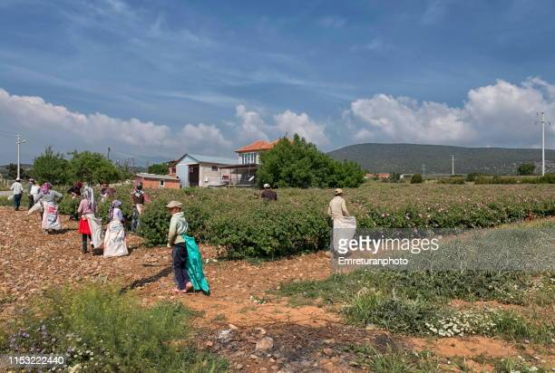 workers beginning flower picking during rose harvest,isparta - emreturanphoto stock pictures, royalty-free photos & images