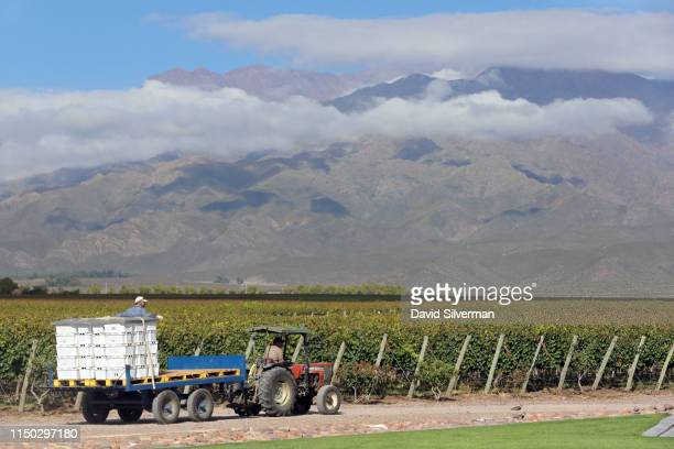 Workers bring in the Malbec grape harvest in the foothills of the Andes mountains at the Flechas de los Andes winery on March 26, 2019 in the Valle...