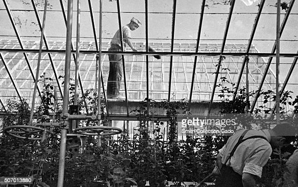 Workers budding a rose while another worker cleans the ceiling of an experimental USDA greenhouse Beltsville Maryland 1935 From the New York Public...