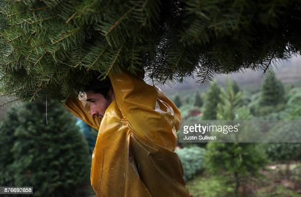 A workers bundles up freshly harvested Douglas Fir Christmas trees that will be lifted by helicopter from a field at the Holiday Tree Farms on...