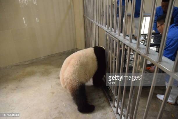 Workers cage giant panda Wu Wen at Wolong National Nature Reserve as the panda will leave for Netherlands on April 11 2017 in Ngawa Tibetan and Qiang...