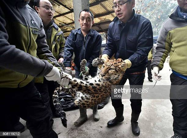 Workers carry a leopard under anaesthetic to its new room at Chengdu Zoo on February 2 2016 in Chengdu Sichuan Province of China 9 leopards and...