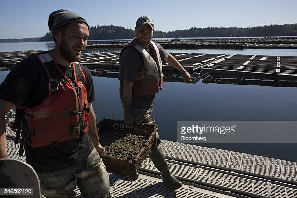 Workers carry a tray of mud sand and geoducks on a floating growing facility operated by the Taylor Shellfish Co near Olympia Washington US on...