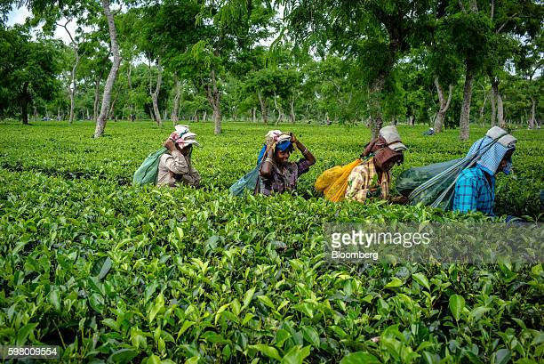 Workers carry bags of tea leaves at the Korangani Tea Estate in the Dibrugarh district of Assam India on Saturday Aug 20 2016 India's secondquarter...