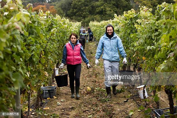 Workers carry buckets used for picking grapes from the vineyard at the Ridgeview Estate Winery in Sussex UK on Thursday Oct 13 2016 Then UK...