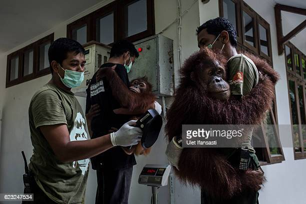 Workers carry Sumatran orangutans as being prepared to be released into the wild at Sumatran Orangutan Conservation Programme's rehabilitation center...