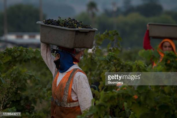 Workers carry zinfandel grapes at a vineyard in Kenwood California US on Monday Sept 21 2020 Smoke from the LNU Lightning Complex wildfires may have...