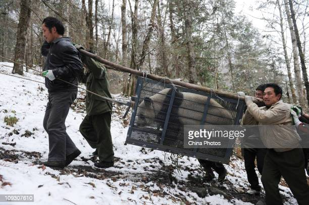 Workers carrying giant panda Cao Cao walk uphill in a training base at the Hetaoping China Conservation and Research Center for the Giant Panda on...