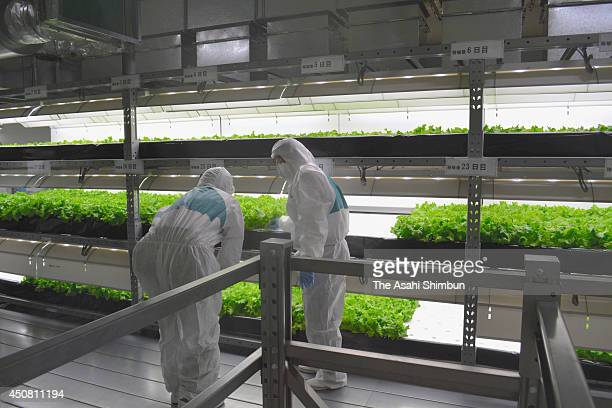 Workers check the growth of lettuce at the OA FarmYabu Lettuce Factory on June 17 2014 in Yabu Hyogo Japan The factory will produce 1 million lettuce...