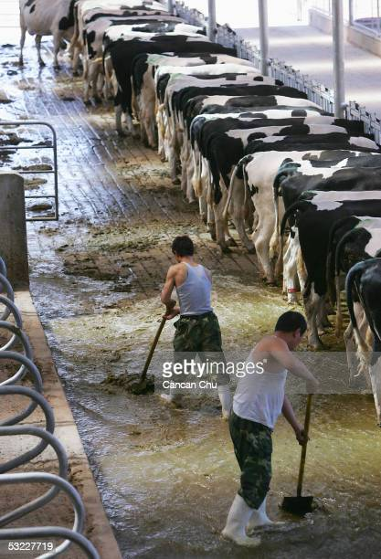 Workers clean a cow barn at Mengniu Dairy Co Ltd's modern dairy farm July 12 2005 in Hohhot Inner Mongolia autonomous region in north China The farm...