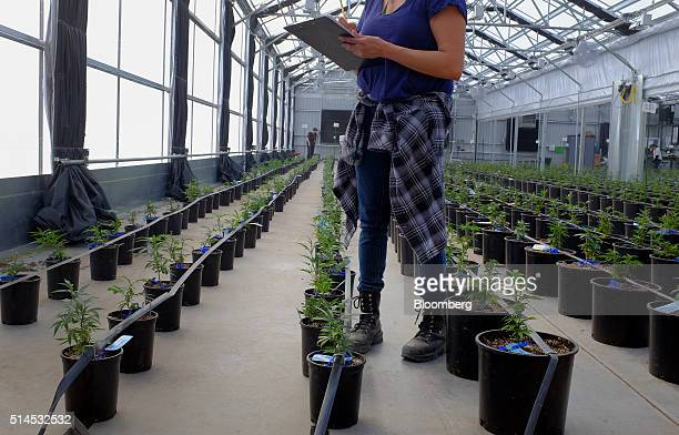 Workers clean up and check plant tags after transplanting marijuana plants to grow in a greenhouse at the Los Suenos Farms facility in Avondale...