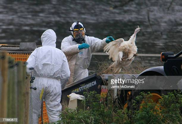 Workers clear up dead turkey carcasses at Redgrave Park Farm where around 2,600 birds, including ducks and geese, are being slaughtered following the...