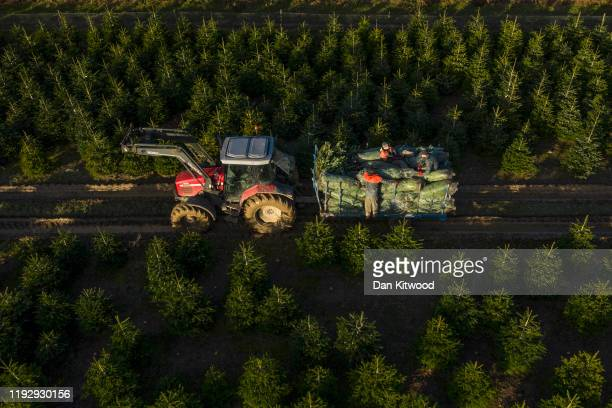 Workers collect Christmas trees at Hole Park on December 09, 2019 in Cranbrook, England. Hole Park grows and distributes thousands of trees across...