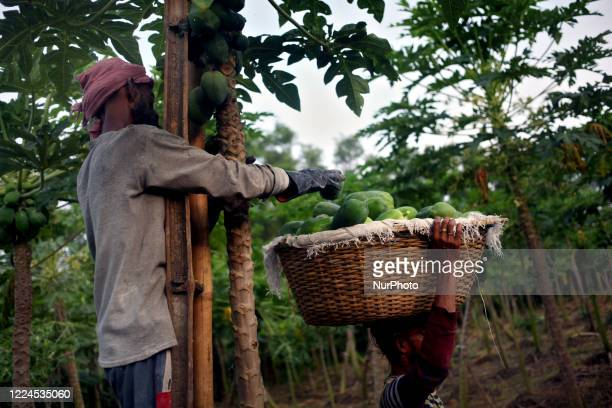 Workers collect fruits from a papaya plant in Magura, Bangladesh on July 02, 2020.