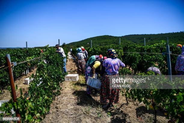 Workers collect grapes at a vineyard on August 28 2017 in Canakkale On the verdant fertile Gallipoli peninsula in northwest Turkey headscarfclad...