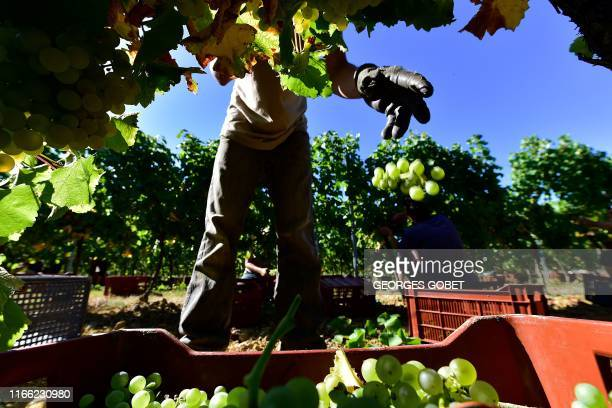 Workers collect grapes on September 3 2019 in a vineyard near Rauzan in the EntreDeuxMers region near Bordeaux southwestern France Harvest began in...