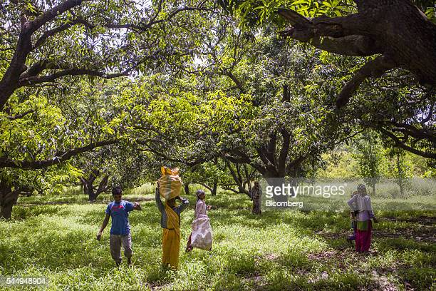 Workers collect mangoes in an orchard on the family farm of landowner Kunwar Vikram Jeet Singh in Kuchesar Uttar Pradesh India on Tuesday May 24 2016...