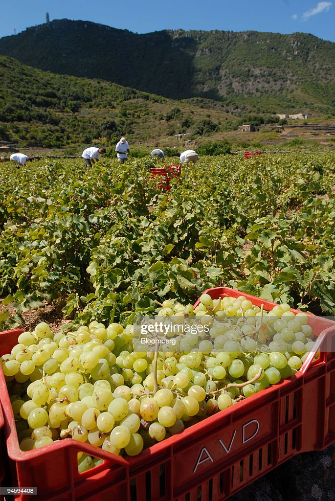 Workers collect Zibibbo grapes in Pantelleria, Italy, on Saturday, Sept. 8, 2007.