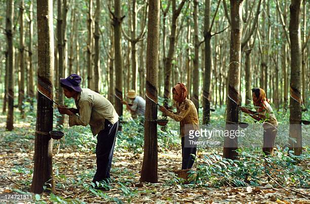 Workers collecting sap from the rubber trees at the Chup rubber plantation