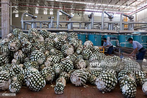 Workers cut agave plants to reveal the pina or pineapple that is at the core before they are transported to ovens for baking at Tequila Don Julio SA...